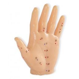 Modelo Anatómico da Mão